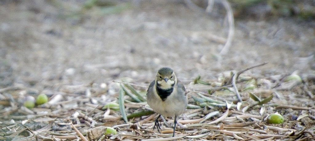 Biodiversité - Petit oiseau parmi les olives