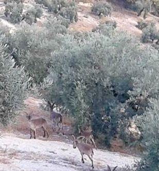 Ciervos entre olivos ramoneando